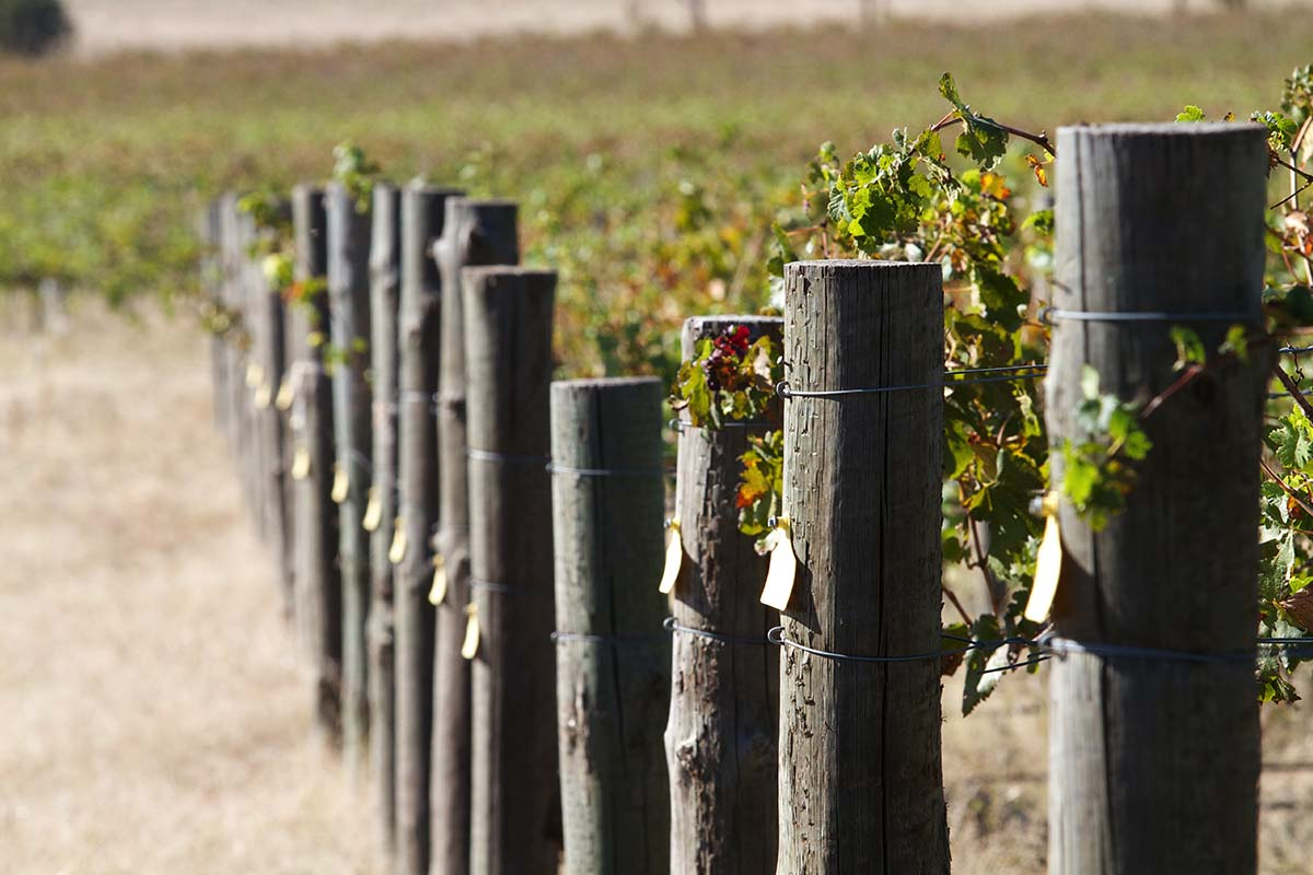 Learn about the full winemaking process with CSU's on-campus vineyard.